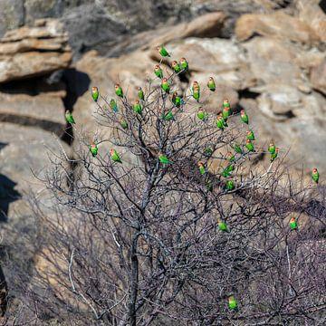Rosenköpfchen Papageien in Namibia van Felix Brönnimann