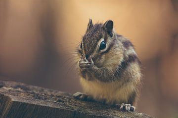Siberische Grondeekhoorn, eekhoorn, chipmunk op boomstam