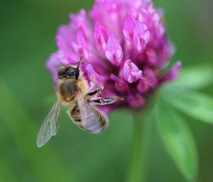 Honingbij op bloem van michael meijer