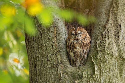 Bosuil zit in een boom te rusten. van