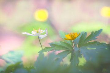 Weiße und gelbe Buschwindröschen von Carola Schellekens