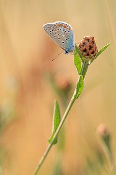 Icariusblauwtje Vlinder van Lisa Antoinette Photography