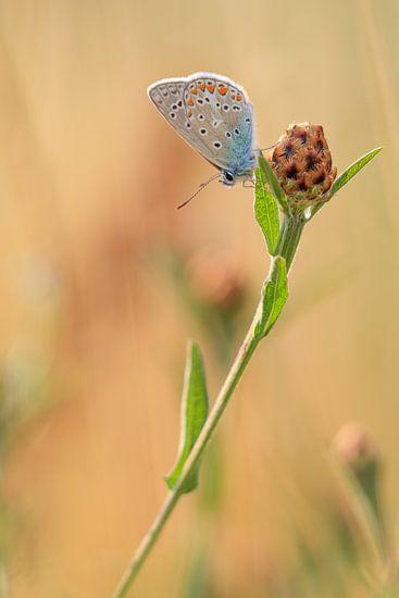 Icariusblauwtje Vlinder