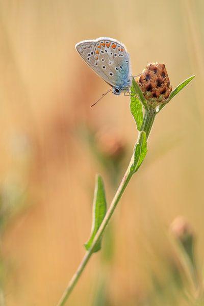 Icariusblauwtje Vlinder van Lisa Kompier