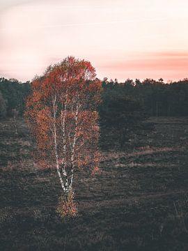 Avondzon zet witte boom in brand op de Veluwe van Mick van Hesteren