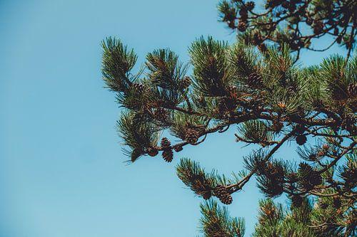 Pine apple life