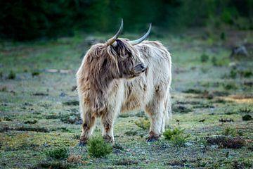 Schotse hooglander op de heide van gea strucks