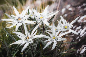L'edelweiss sur Coen Weesjes