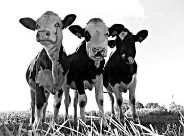 Vaches curieuses  sur