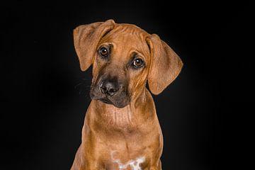 Fine Art portret van een Rhodesian Ridgeback puppy van Elles Rijsdijk