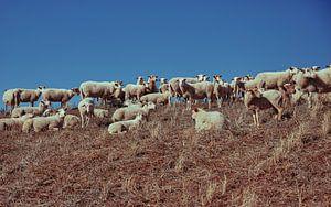 Schafe auf einer Düne
