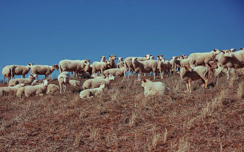 Schafe auf einer Düne von Bastiaan Schuit