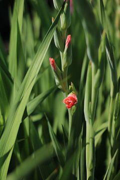 Gladiolen im Pflückgarten von Eveline Fotografie