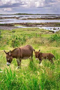 Moeder ezel met jong aan de Ierse kust bij Galway