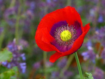 Red Poppy (Rode Klaproos, Papaver) van Caroline Lichthart