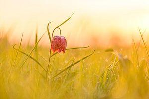 Kievitsbloem in een weiland tijdens de zonsopgang