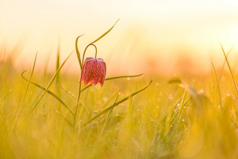 Kievitsbloem in een weiland tijdens de zonsopgang van Sjoerd van der Wal