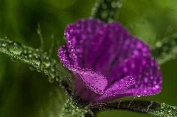 Blüte mit Regentropfen van Gabi Siebenhühner
