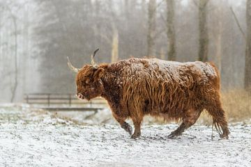 Schotse hooglander lopend in de sneeuw van Maria-Maaike Dijkstra