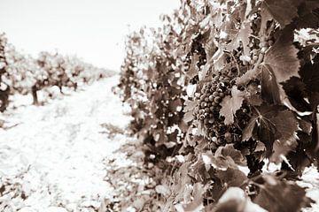 Reben in Südfrankreich schwarz-weiß von Nick van Dijk