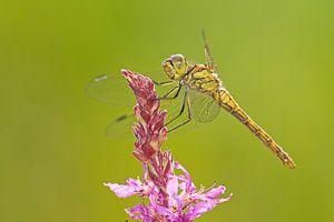 Ziegelroter Heidelibel auf Zopfblume