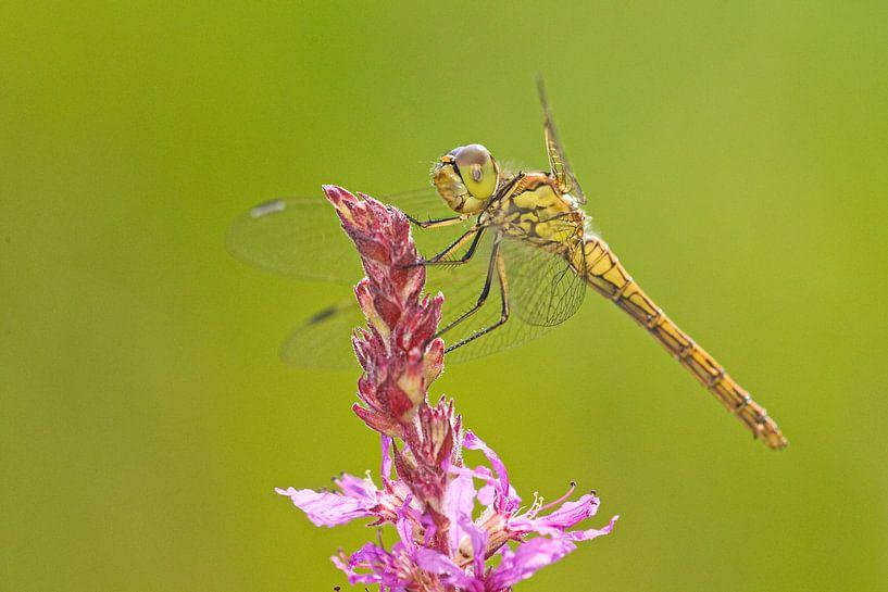 Ziegelroter Heidelibel auf Zopfblume von Jeroen Stel