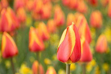 Hollands bollenveld met rode en gele tulpen in de Keukenhof van Renske Breur