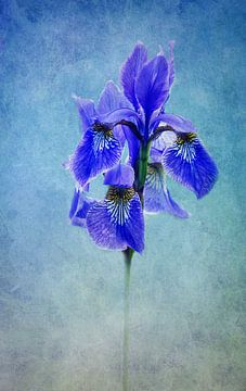 blauwe iris van Claudia Moeckel