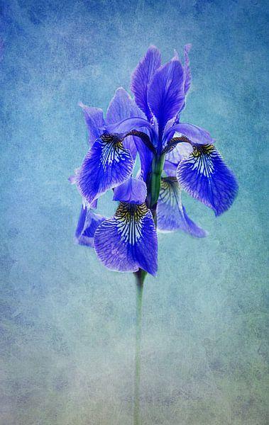 blue Iris van Claudia Moeckel