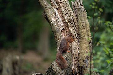 Foeragerende eekhoorn van Fronika Westenbroek