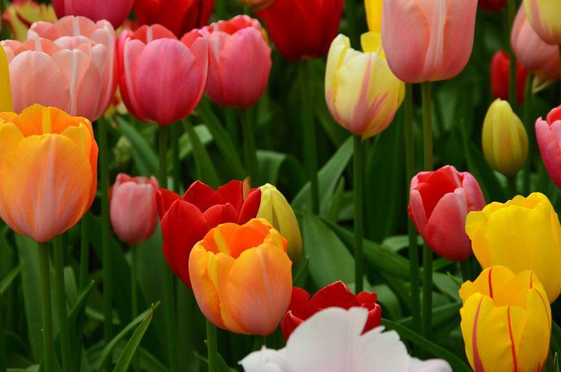 Tulipa in mixed colours van Marcel van Duinen