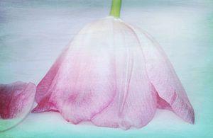 Tulpe kopfüber2