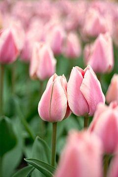 Roze tulpen in het veld van Lindy Schenk-Smit