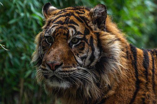 Close up van een Sumatraanse tijger