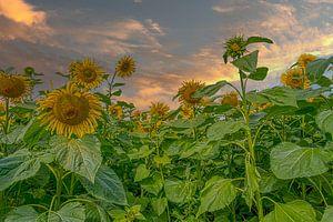Zonnebloemen van Tonny Verhulst