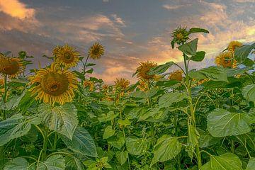 Sonnenblumen von Tonny Verhulst