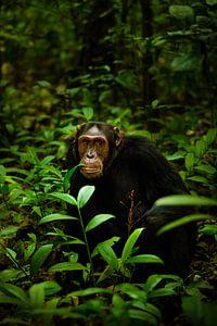 Portret van een chimpansee. van Gunter Nuyts