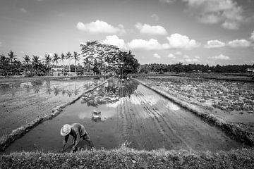 Rijstveld op Bali. van Mariëlle Debrichy