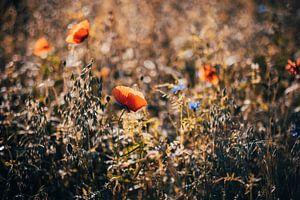 Mohnblume im Feld von Denny Lerch