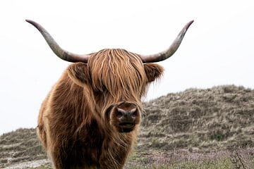 Schottischer Hochländer in den Dünen von Affect Fotografie