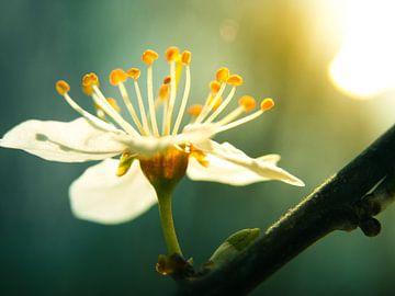 Kirschblüte / Blume / Blütenblätter / Blüte / Gelb / Orange / Weiß / Grün / Warm / Sonnenlicht / Nah von Art By Dominic