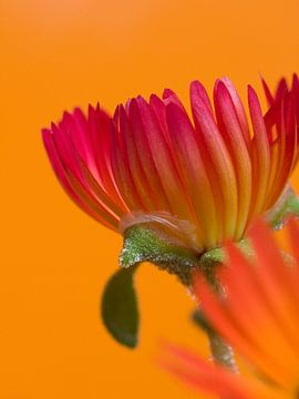 Fleur VIII - Blumen - Blumen von Herma Egberts