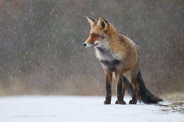 Vos in de sneeuw von