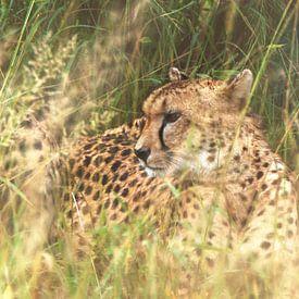 Geparden mischen sich in das hohe Gras. von Laura Sanchez