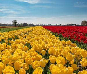 Gele en rode tulpenveld, Lisse, , Zuid-Holland, Nederland