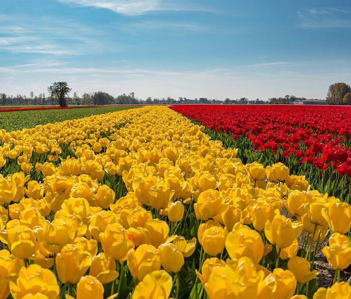 Gele en rode tulpenveld, Lisse, , Zuid-Holland, Nederland van Rene van der Meer