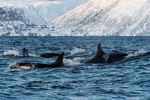 Gruppe von Orcas