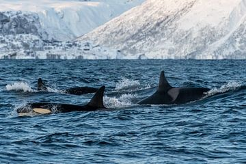 Gruppe von Orcas von Merijn Loch