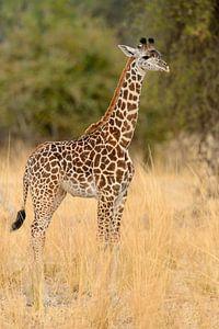 Thornicrofts Giraffe (Giraffa camelopardalis thornicrofti) staand op de savanne
