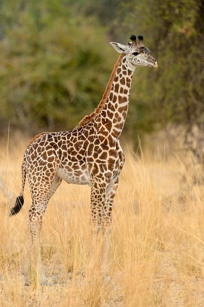 Thornicrofts Giraffe (Giraffa camelopardalis thornicrofti) staand op de savanne van Nature in Stock
